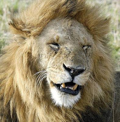 Photograph - Lion by Ron Roberts