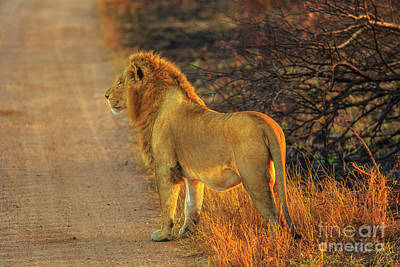 Photograph - Lion Side View by Benny Marty