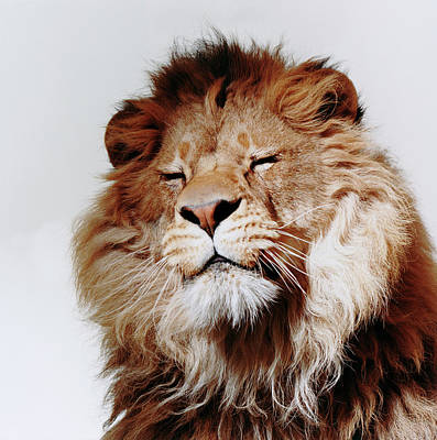 Eyes Closed Photograph - Lion With Eyes Closed by Gk Hart/vicky Hart