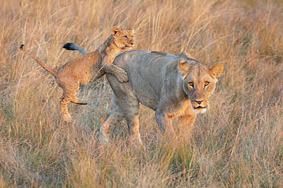 Photograph - Lioness And Cub by John Rodrigues