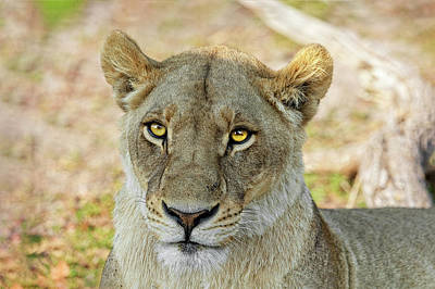 Photograph - Lioness In Botswana by Kay Brewer