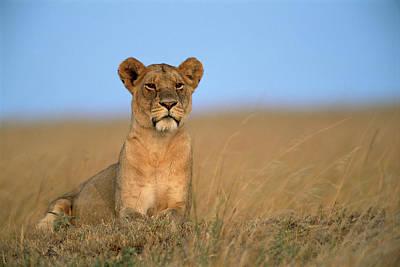 Photograph - Lioness Panthera Leo by James Warwick