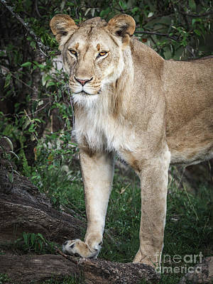 Photograph - Lioness by Robin Zygelman