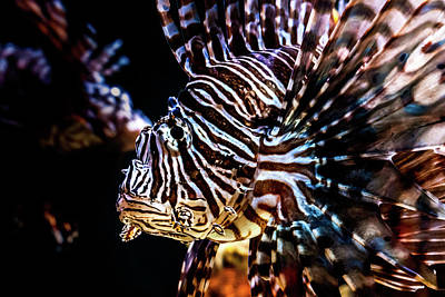 Photograph - Lionfish by Jeanette Fellows