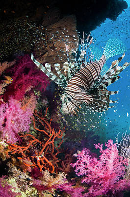 Photograph - Lionfish Over Coral Reef by Georgette Douwma