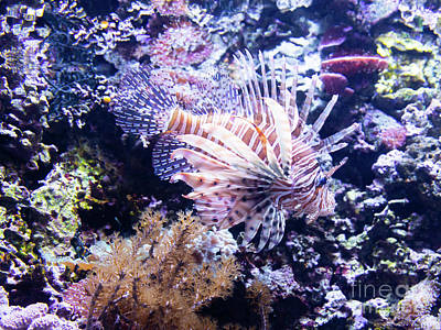 Photograph - Lionfish R1354 by Wingsdomain Art and Photography