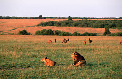 Photograph - Lions And Lioness Panthera Leo Watching by Martin Harvey