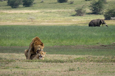 Photograph - Lions In Love by Mary Lee Dereske