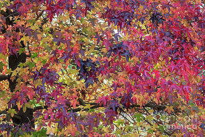 Photograph - Liquidambar Leaves In Autumn by Tim Gainey