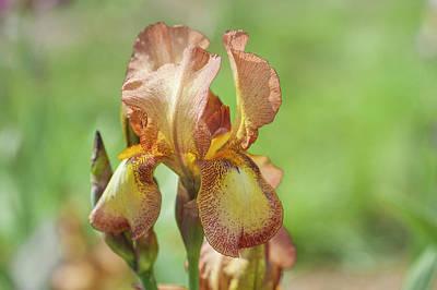 Photograph - Liszt. The Beauty Of Irises by Jenny Rainbow