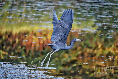Photograph - Little Blue Heron Over Colorful Pond by Carol Groenen