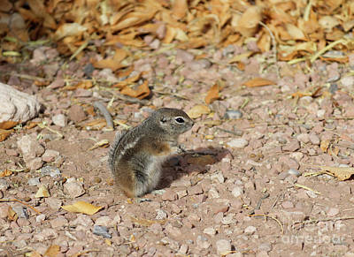 Movies Star Paintings - Little desert chipmunk on the ground by Celine Bisson