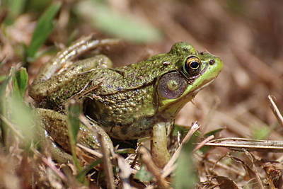 Photograph - Little Green Frog by William Selander