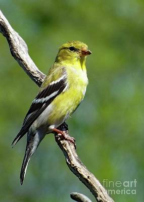 Abstract Airplane Art - Little Lady - American Goldfinch by Cindy Treger