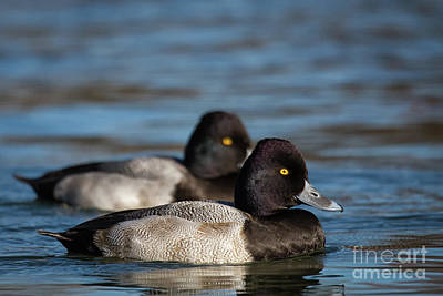 Photograph - Little Lesser Scaup by David Cutts