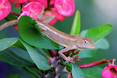 Photograph - Little Lizard by Nicole Young
