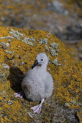 Photograph - Little Lost Chick by Alex Lapidus