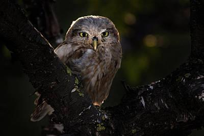 Photograph - Little Owl focused on prey - Israel by Ariel Fields