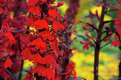 Photograph - Lobelia Cardinalis Queen Victoria Flowers by Tim Gainey
