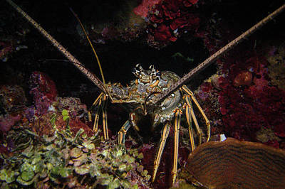 Photograph - Lobster by Jean Noren