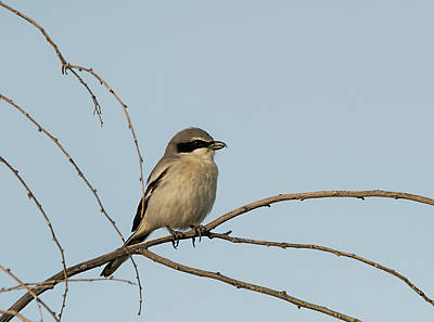 Photograph - Loggerhead Shrike by Loree Johnson