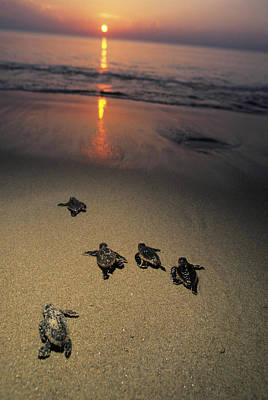 Photograph - Loggerhead Turtle Hatchlings Crawl by Doug Perrine