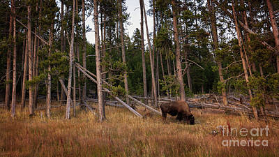 Photograph - Lone Bison by Doug Sturgess