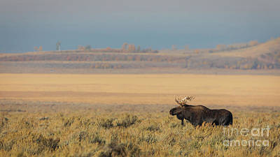 Photograph - Lone Bull Moose Looking For Love by Doug Sturgess