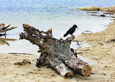 Lone Carmel Crow Atop Driftwood Art Print