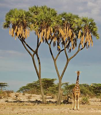 Photograph - Lone Reticulated Giraffe Giraffa by Daryl Balfour