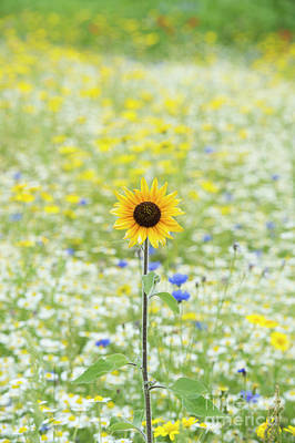 Photograph -  Lone Sunflower In A Wildflower Meadow by Tim Gainey