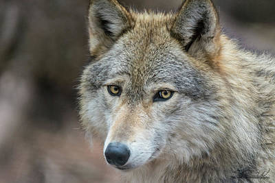 Photograph - Lone Wolf by Steven Wilson