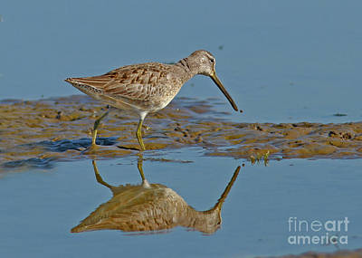 Wall Art - Photograph - Long-billed Dowitcher by Gary Wing