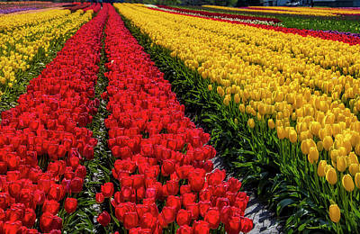 Photograph - Long Row Of Red Tulips by Garry Gay