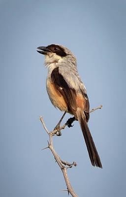 Wall Art - Photograph - Long-tailed Shrike by Martin Belan