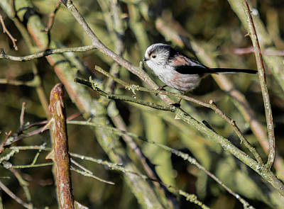 Photograph - Long Tailed Tit by Scott Lyons