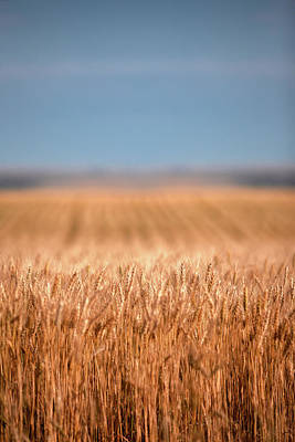Photograph - Long Wheat by Todd Klassy