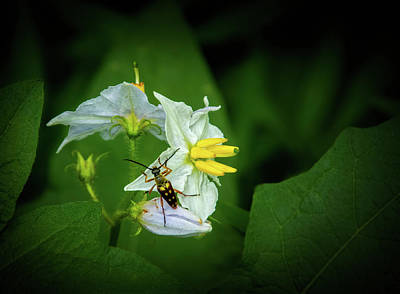 Photograph - Longhorn Beetle On Horsenettle Flowers by Carolyn Derstine