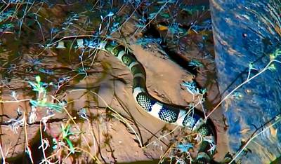 Photograph - Longnosed Snake By A Desert Wash by Judy Kennedy