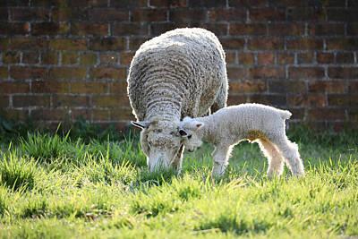 Rock Royalty - Longwool Lamb Loves Her Mama by Rachel Morrison