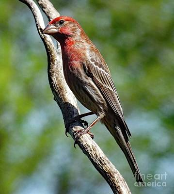 Abstract Airplane Art - Looking Handsome -  Male House Finch by Cindy Treger