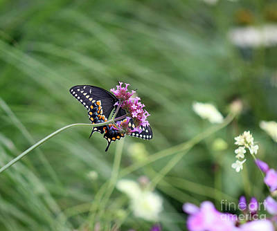 Photograph - Looking Up At Black Swallowtail Butterfly by Karen Adams