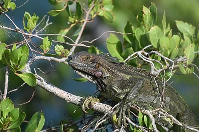 Photograph - Lounge Lizard by Fraida Gutovich