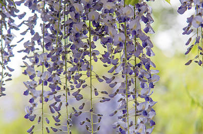 Rolling Stone Magazine Covers - Lovely Curtain of Purple Wisteria Bloom by Jenny Rainbow