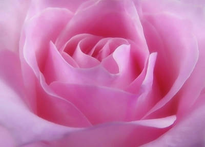 Photograph - Lovely Pink Rose by Johanna Hurmerinta