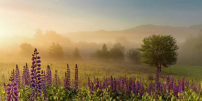 Photograph - Lupine In The Fog, Sugar Hill, Nh by Jeff Sinon