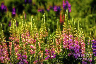 Royalty-Free and Rights-Managed Images - Lupines by Veikko Suikkanen
