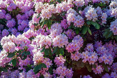 Photograph - Lush Bloom Of Rhododendrons by Jenny Rainbow