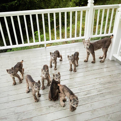 Art Print featuring the photograph Lynx Family Portrait by Tim Newton