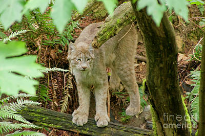 Photograph - Lynx by Sean Griffin